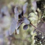 amethyst basil