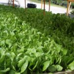 bed of winter density lettuce