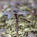 close up of amethyst basil