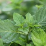 close up of mojito mint