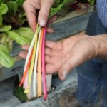 colorful stems of rainbow swiss chard