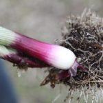 lila onions roots