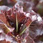 marshall lettuce