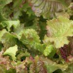 red magenta lettuce