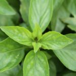 thai magic basil